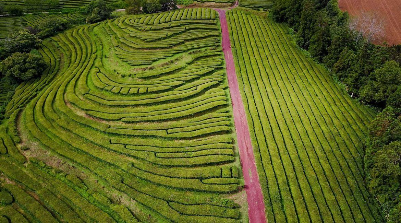 Plantações de Chá – Gorreana